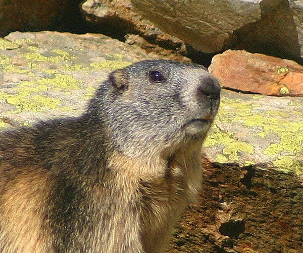 marmotte