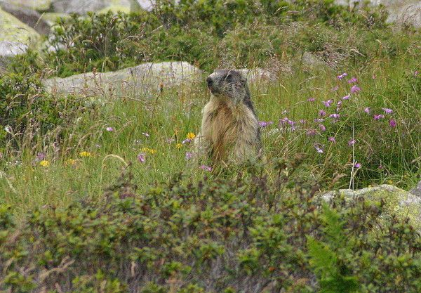 Marmotte qui se cache?